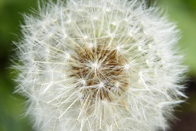 Detalles de flor de diente de león blanco suave