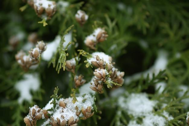 Detalles de la naturaleza de invierno en el campo. ramas de los árboles de thuja en la nieve.