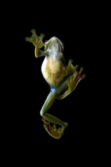 Detalles de una rana arborícola malaya visto desde arriba