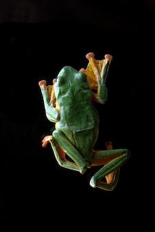 Detalles de una rana voladora verde visto desde arriba