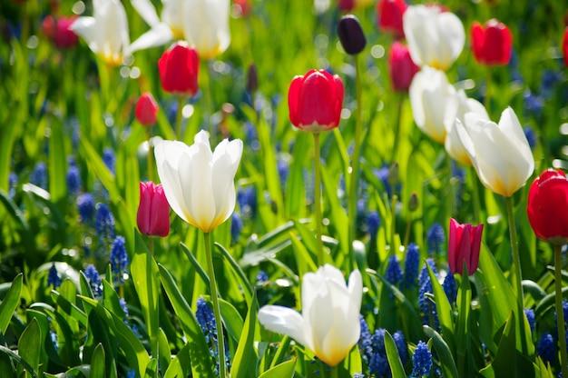 Dia de la mujer. día de san valentín. tulipanes de primavera.
