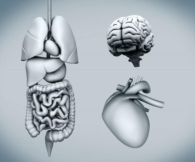 Diagrama de órganos humanos en el fondo blanco
