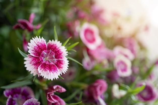 Dianthus flores en el jardín