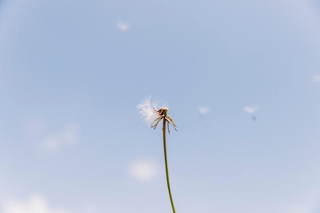 Diente de león exagerado con semillas volando con el viento