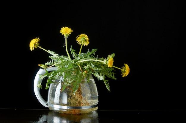 Diente de león con raíces y hojas en una tetera de vidrio en un oscuro