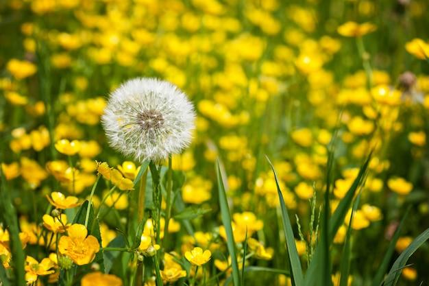 Diente de león. verano amarillo