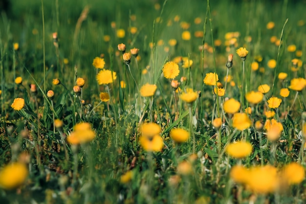 Dientes de león amarillos. flores brillantes dientes de león sobre fondo de verdes prados de primavera.