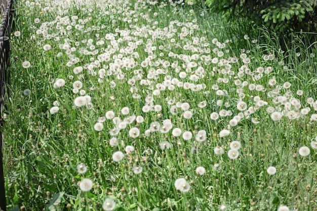 Los dientes de león mullidos blancos florecen en la naturaleza, fondo natural. muchas flores en pradera. enfoque selectivo.