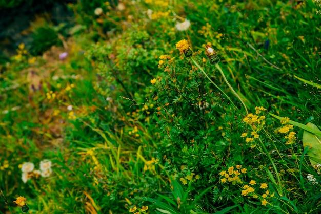 Dientes de león entre rica vegetación. pequeñas flores amarillas hermosas entre el primer multicolor de las hierbas.