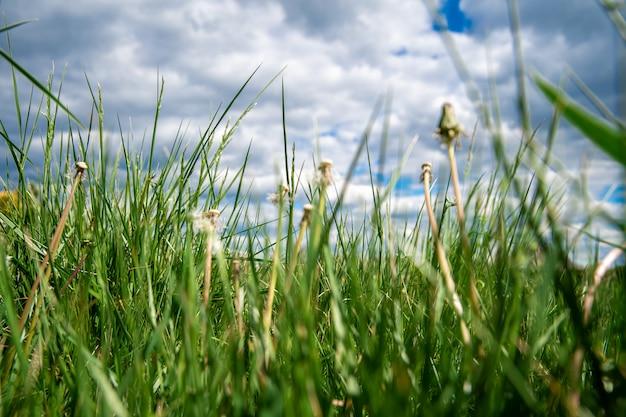 Dientes de león soplados en un prado verde en la hierba