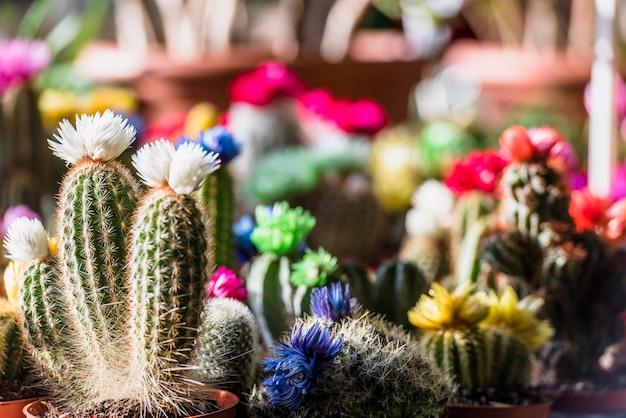 Diferentes cactus de floración en macetas.