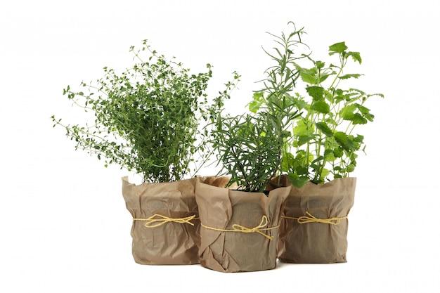 Diferentes hierbas en macetas aisladas sobre fondo blanco.