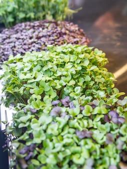 Diferentes microgreens-1. brotes de rábano rojo y verde de sango, brotes de col roja