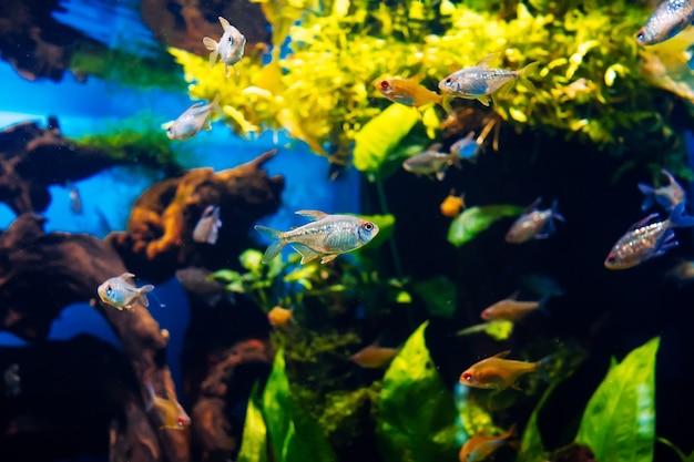 Diferentes peces pequeños de acuario nadando.