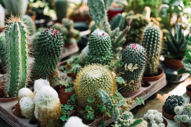 Diferentes tipos de plantas de cactus que crecen en invernadero.