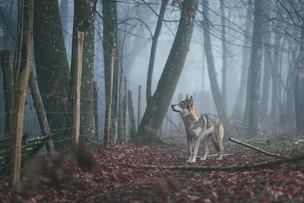 Digoin, francia - 05 de mayo de 2020: misty wolf