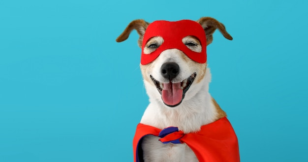 Disfraz de superhéroe para perro. little jack russell vistiendo una máscara roja pared azul