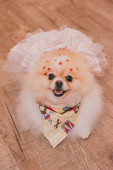 Disparo de alto ángulo un chihuahua con un lindo vestido de novia sonriendo posando y mirando directamente