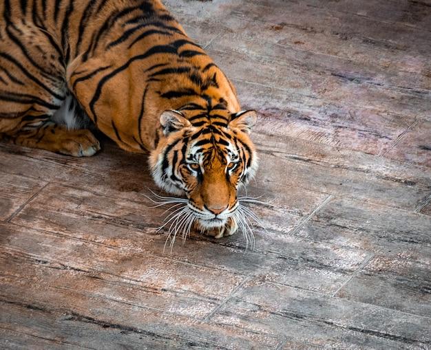Disparo de alto ángulo de un hermoso tigre siberiano descansando sobre un piso de madera