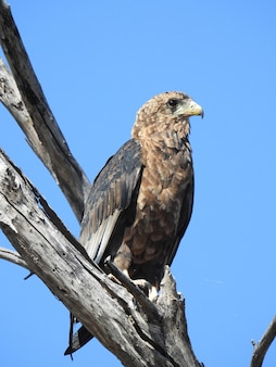 Disparo de ángulo bajo vertical de un águila sentada en una rama bajo un cielo azul