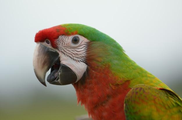 Disparo en la cabeza del pájaro guacamayo, pájaro hermoso