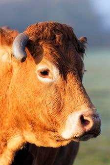 Disparo a la cabeza de vaca a la luz de la mañana