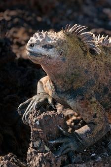 Disparo de closuep vertical de una iguana marina de galápagos sobre una roca