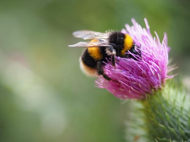 Disparo de enfoque selectivo de una abeja en una flor de cardo