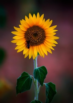 Disparo de enfoque selectivo de una abeja en un girasol en flor en un campo