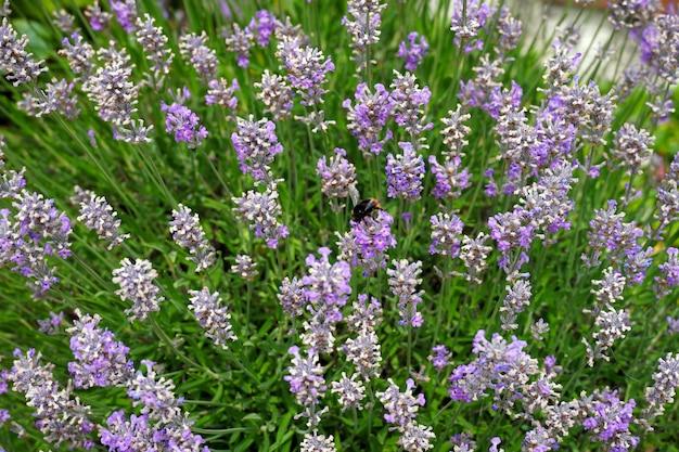 Disparo de enfoque selectivo de abejorros alimentándose de flores de salvia lavanduloides