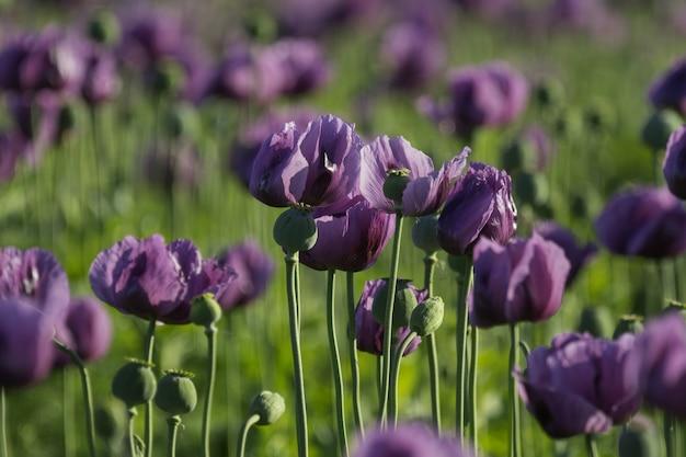 Disparo de enfoque selectivo de amapolas lilas en un campo