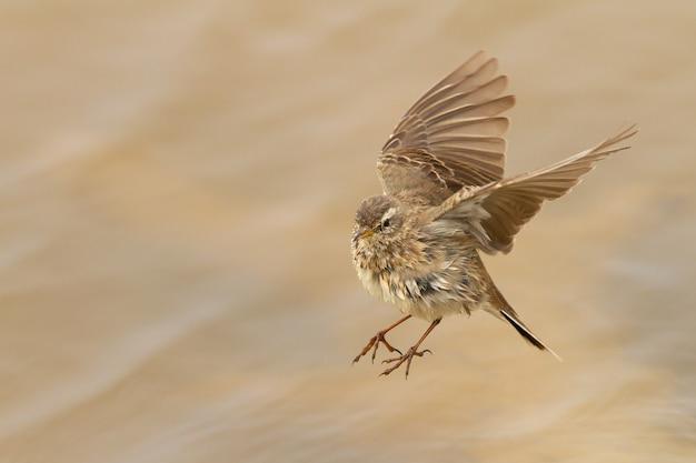 Disparo de enfoque selectivo de un anthus spinoletta volador o bisbita de agua durante el día