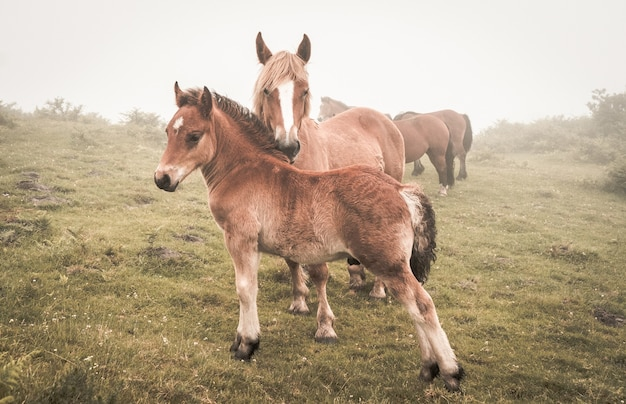 Disparo de enfoque selectivo de caballos marrones que pastan en un campo durante un clima brumoso