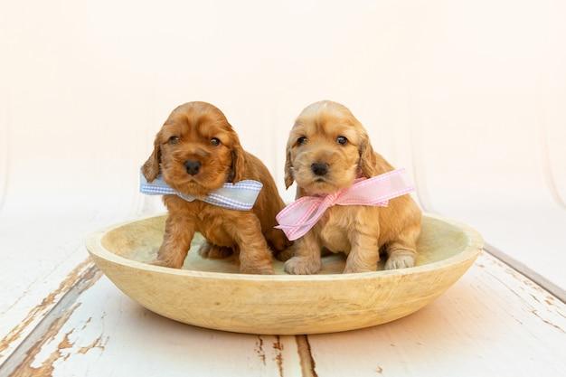 Disparo de enfoque selectivo de dos lindos cachorros de cocker spaniel con lazos rosados y azules en un cuenco de madera