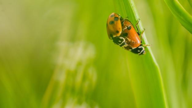 Disparo de enfoque selectivo de dos mariquitas escarabajo en flor en un campo capturado en un día soleado