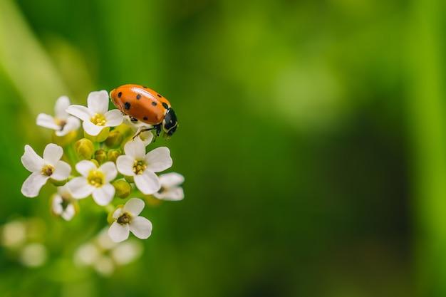 Disparo de enfoque selectivo de un escarabajo mariquita en flor en un campo capturado en un día soleado