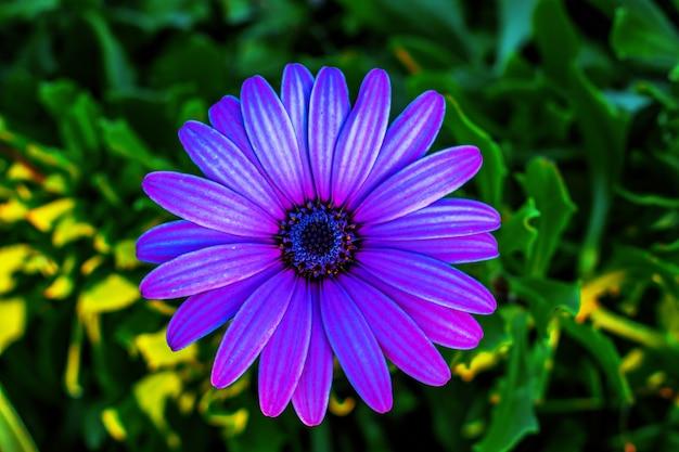 Disparo de enfoque selectivo de una flor de margarita africana púrpura