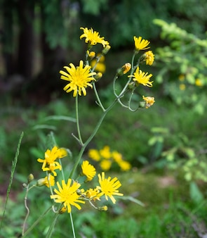Disparo de enfoque selectivo de flores apestosas willie que crecen en el campo