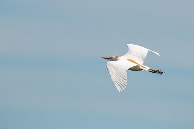 Disparo de enfoque selectivo de flying cattle egret