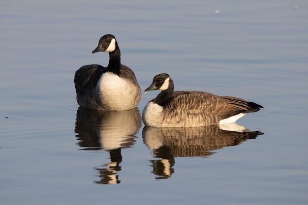 Disparo de enfoque selectivo de gansos canadienses flotando en un estanque