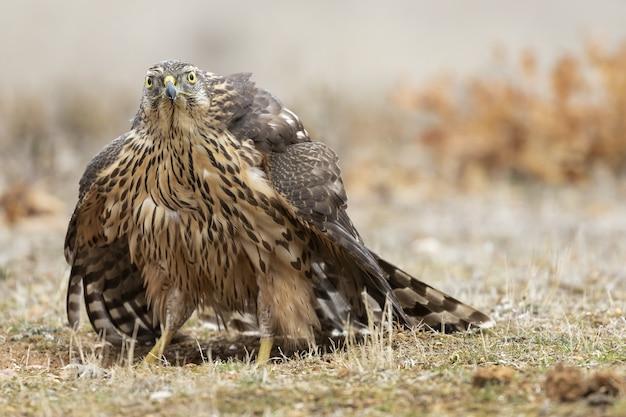 Disparo de enfoque selectivo del halcón de cooper