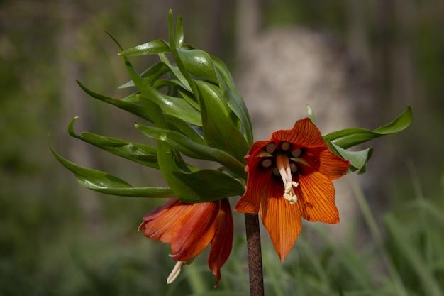 Disparo de enfoque selectivo de una hermosa flor imperial de la corona