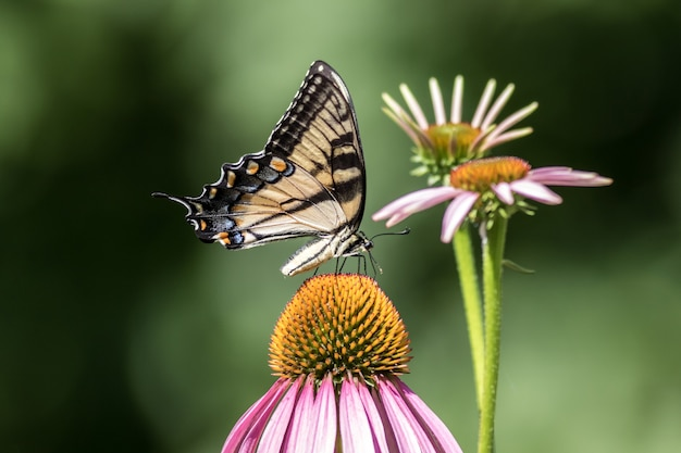 Disparo de enfoque selectivo de una hermosa mariposa sentada sobre una flor de margarita rosa