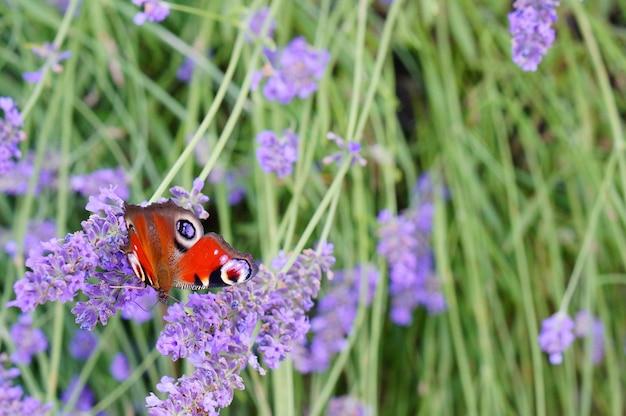 Disparo de enfoque selectivo de una hermosa mariposa sobre flores de lavanda