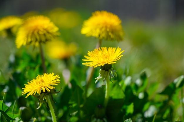 Disparo de enfoque selectivo de hermosas flores amarillas en un campo cubierto de hierba