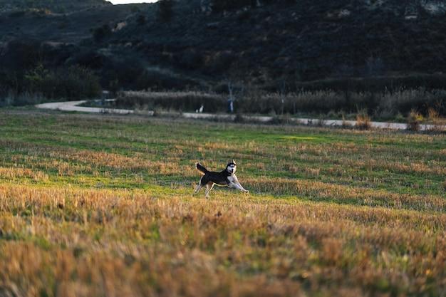 Disparo de enfoque selectivo de un hermoso husky siberiano en el campo