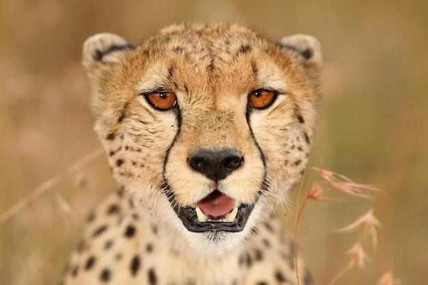 Disparo de enfoque selectivo de un hermoso leopardo africano en los campos cubiertos de hierba Foto gratis