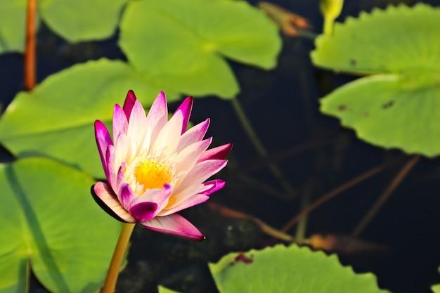 Disparo de enfoque selectivo de un hermoso lirio de agua púrpura en un estanque