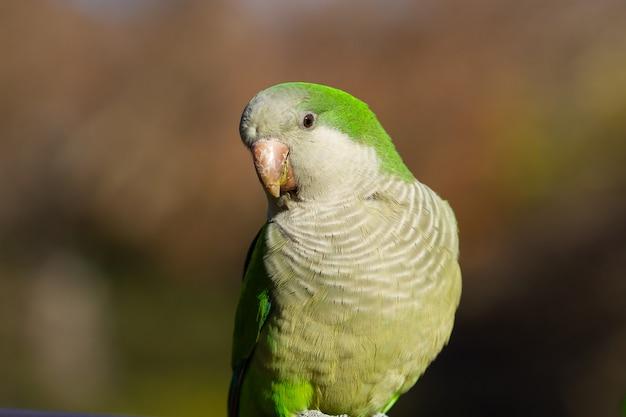 Disparo de enfoque selectivo de un hermoso pájaro periquito monje