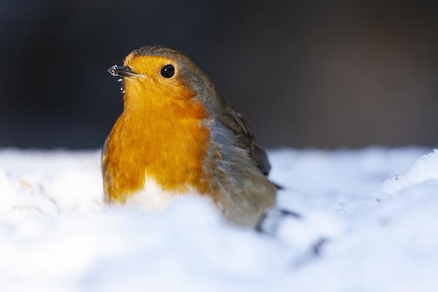 Disparo de enfoque selectivo de un hermoso petirrojo europeo sentado en la nieve.
